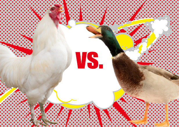 chickens-vs-ducks-for-preppers