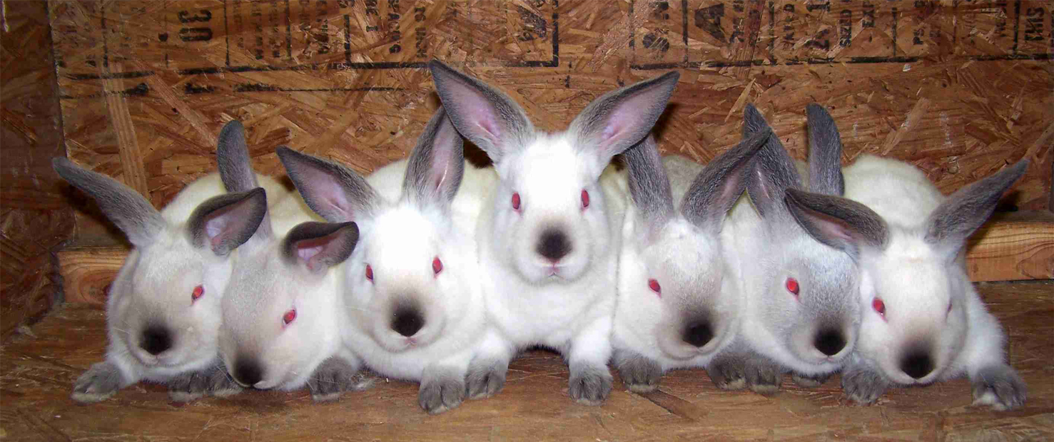rabbits for preppers